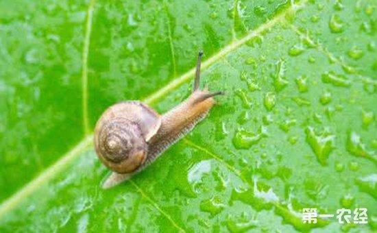 火龙果被蜗牛啃食怎么办?火龙果蜗牛的为害症状和防治方法