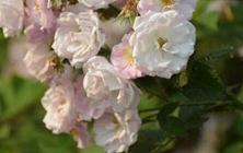 蔷薇花苗怎么种植才能开花多?