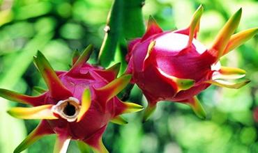 火龙果种植:火龙果的种植条件介绍
