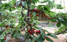 大棚樱桃种植:大棚樱桃的管理技术要点