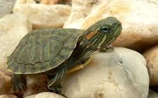 """""""生态杀手""""巴西龟的危害有哪些?"""