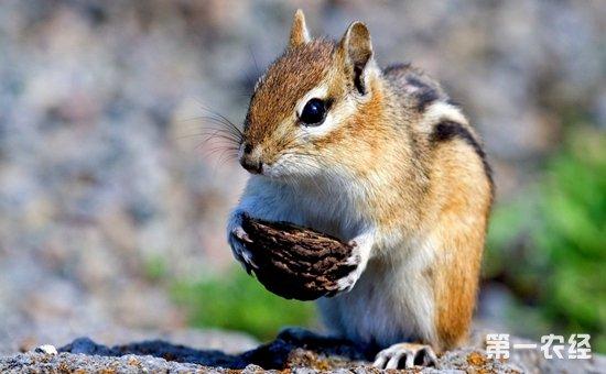 1.养松鼠前的心理准备 很多人都被松鼠可爱的外表,和漂亮的大尾巴所吸引。但是你可知道,松鼠是具有野性的,虽然现在市场上的魔王松鼠也好。金花松鼠也好,都已经人工繁殖了,但是仍然具有野性,因此饲养松鼠前,你要知道松鼠不会像猫狗一样听话。 曾经有些人问我,我家松鼠跑到树上怎么喊都喊不下来。甚至到处乱跑到处乱跳。该怎么办?