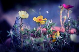 【太阳花专题】太阳花种植|太阳花病虫害