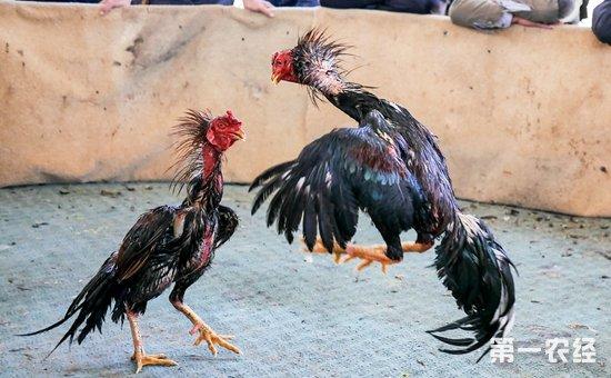 西双版纳斗鸡