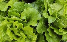 春菜是生菜吗?生菜和春菜的区别