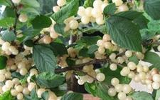 白玉樱桃是转基因的吗?白玉樱桃品种简介