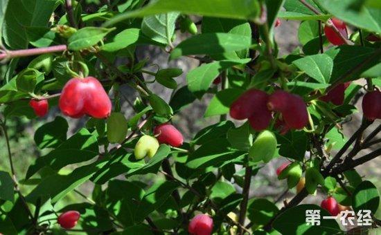 杈杷果是什么植物?杈杷果树长什么样?