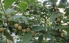 白玉樱桃哪里可以种?白玉樱桃哪里有树苗出售