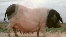 猪的品种有哪些?猪的品种大全及图片