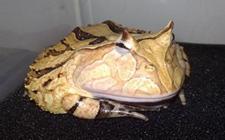角蛙怎么养?角蛙饲养箱怎么布置?