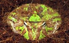 霸王角蛙吃蛙粮吗?蛙粮有哪些?