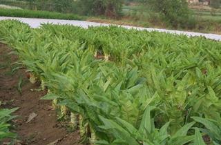 【莴笋专题】莴笋种植技术|病虫害|信息行情