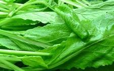 芥菜栽培技术:潮汕春菜的种植方法