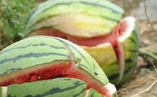 爆炸西瓜是使用西瓜膨大增甜剂的关系吗?