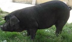 养什么猪品种好一点?