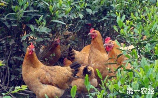 散养鸡技术