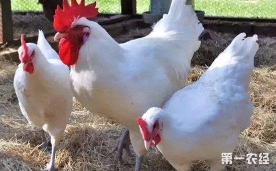 """法国之""""国鸡"""":布雷斯鸡"""