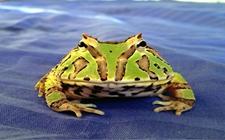 宠物蛙:钟角蛙和绿角蛙的区别
