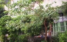 桃金娘科有什么植物?桃金娘科植物品种介绍