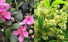 桃金娘和姚金娘是同种植物吗?桃金娘和姚金娘