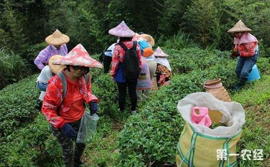 """台湾新北:开展""""坪林不扰游""""体验活动   民众深感采茶不易"""