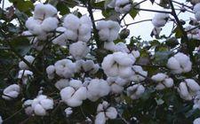 """雨季实现棉花优质高产的""""五要素""""是什么?"""