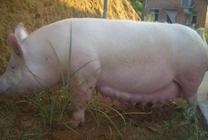 母猪良种有哪些?最好的母猪品种