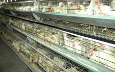 立体笼养肉鸡六个科学饲养管理的实用新招数你知道吗?