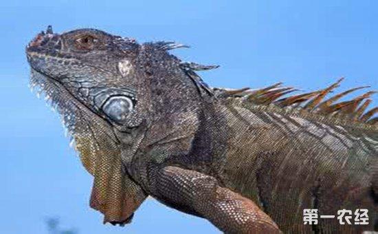 蜥鳄的具体科学分类界:动物界,门:脊索动物门,纲:蜥形纲,亚纲