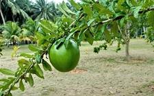铁西瓜是什么植物?铁西瓜的分布区域
