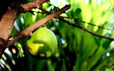 澳门永利娱乐注册树到底是什么树苗?澳门永利娱乐注册树的澳门永利娱乐注册可以吃吗