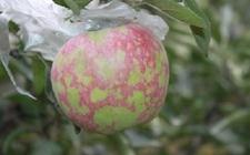 苹果树病毒病怎么办?苹果树病毒病的危害特点和防治措施