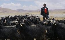 西藏:紫绒山羊原种场提格为西藏山羊(紫绒型)国家级保种场