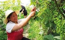 辽宁北票:大力发展种植特色高效经济作物