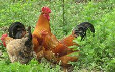 """<b>怎样生态养殖有机土鸡?生态养殖有机土鸡的""""七重奏""""</b>"""