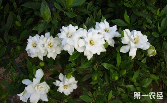 小叶栀子盆栽的养护方法和注意事项