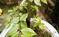 野生乌饭树几月可移栽?