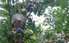 乌饭树嫁接蓝莓好吗?乌饭怎么嫁接蓝莓?