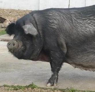 黑猪种猪有哪些良种?