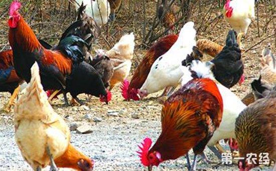 2017年7月12日最新鸡蛋价格行情 淘汰鸡价格行情 白羽肉毛鸡价格行情