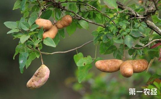 八月瓜适合在哪里种植?八月瓜种植条件