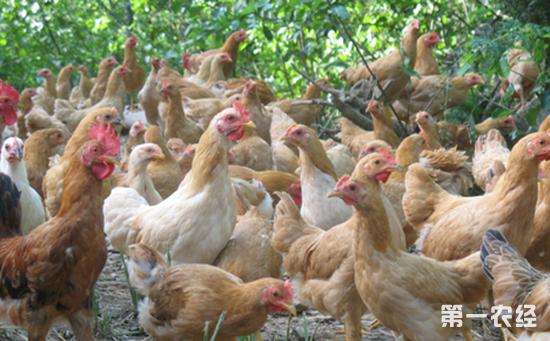 2017年7月13日最新鸡蛋价格行情 淘汰鸡价格行情 白羽肉毛鸡价格行情