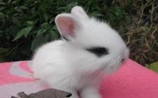 公主兔和熊猫兔能交配繁殖吗?