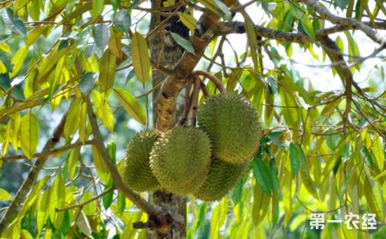一,榴莲树的种植情况      榴莲树是热带著名水果之一,叶片长圆