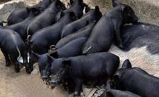 中国黑猪品种介绍,中国十大黑猪品种