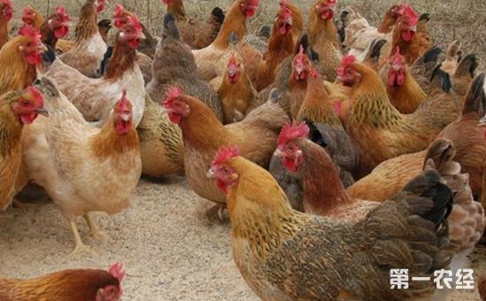 2017年7月14日最新鸡蛋价格行情 淘汰鸡价格行情 白羽肉毛鸡价格行情