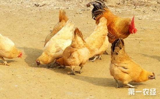 鸡新城疫与禽霍乱的鉴别