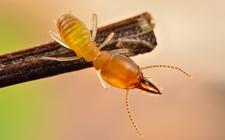 蚍蜉是什么动物?蚍蜉是蚂蚁吗?
