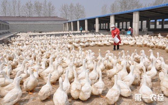 洪涝灾害过后畜禽养殖重点事项