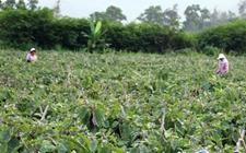 河南:千亩茄子一斤2分仍无人购买 菜农泪崩了